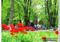 В Кропивницком расцвели первые разноцветные тюльпаны
